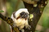 Cotton Top Tamarin Monkey, Saguinus Oedipus, Sitting On A Tree Branch poster