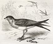 Collared Pratincole old illustration (Glareola pratincola). Created by Kretschmer and Wendt, publish