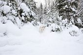 White Dog Discover The Wintry Taiga Forest poster