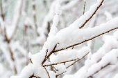 Branch Of A Tree With Snow, Winter Photography poster