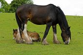 Shire Horse And Foal