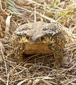 Big toad in the fields