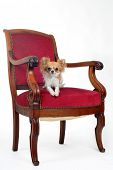 Antique Chair And Chihuahua
