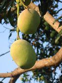 Mangos On The Tree