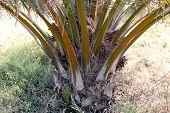 Palm, Closeup Oil Palm Tree, Palm Garden, Palm Plantation poster