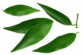 Citrus Leaves Isolated On White Background. Top View. Mandarin Leaves. Orange Leaves poster