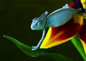 Chameleons belong to one of the best known lizard families.