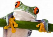 stock photo of red eye tree frog  - Frog - JPG