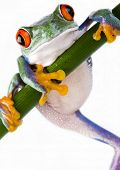stock photo of red eye tree frog  - Red eye frog - JPG