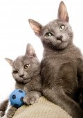 Russian Blue & British Shorthair on the pillow