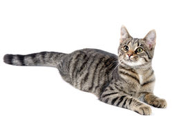 image of tabby-cat  - Cute tabby cat laying down on white background - JPG
