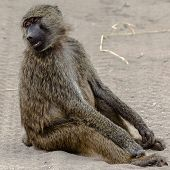 You talkin' to me? - Baboon, Tanzania