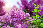 Lilac Flowers With Green Leaves