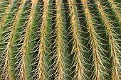 Close Up Of Cactus With Yellow Needles. Echinocactus Grusonii. Canary Islands, Lanzarote, Jardin De