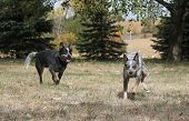stock photo of blue heeler  - Two blue heeler dogs running in the yard - JPG