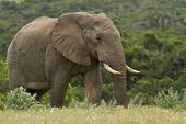 pic of gentle giant  - Large elephant walking and looking for food early in the morning - JPG