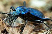 Ground beetle - Carabus intricatus