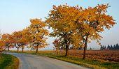 autumnal view of alley of cherry trees (prunus avium)