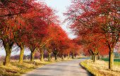 foto of chokeberry  - autumnal view of alley of red chokeberry - JPG
