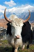 Yak - bos grunniens or bos mutus - in Langtang valley with Langshisha Ri mout - Nepal