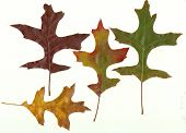 Close-up Collection Fall Autumn Oak Leaves 1
