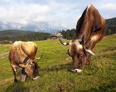 Morning view from Sexten Dolomites with cows