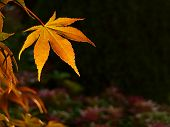 Autumn Sunset Maple Leaf Background