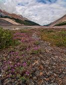 Pink Flowers Below The Columbia Icefields