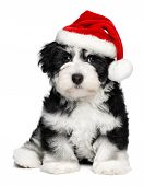 stock photo of christmas puppy  - Cute sitting Bichon Havanese puppy dog in a Christmas  - JPG