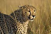 Cheetah ( Acinonyx jubatus )