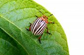 image of potato bug  - a image of Colorado beetle on potato leaf - JPG