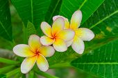 The Plumeria Flower.