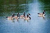 Canada Goose (Branta canadensis) family