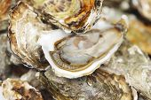 Oysters background macro close up