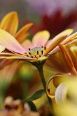 An abundance of osteospermum flowers , with focus to central flower.