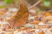 Large Assyrian Butterfly