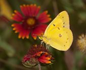 Bright yellow Clouded Sulphur butterfly feeding on an Indian Blanketflower with summer meadow beackground