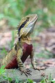 picture of goanna  - photographed at Australia Zoo in the wild in the bush - JPG