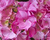 pink Hortensia floral background