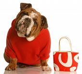 Bulldog In Red Sweater With Red Purse
