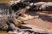 pic of crocodile  - Crocodiles In Samut Prakan Crocodile Farm - JPG