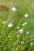 Beautiful  Wild Cotton Flowers
