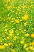 Beautiful Meadow Of Buttercups