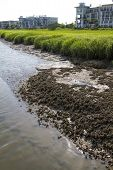 Georgia Brackish Water Mussels - Margaritifera auricularia
