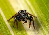 stock photo of mandible  - jumping spider with  an ant in its mandibles