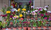 Orchids For Sale, Street Market In Asuncion, Paraguay.