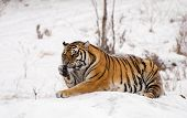 Siberian Tiger Licking Paw