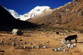 Ganado en el valle de Cohup, Cordiliera Blanca, Perú, Sudamérica