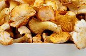 Golden Chanterelles
