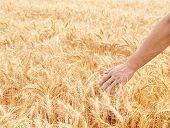 Male Hand In Gold Wheat Field